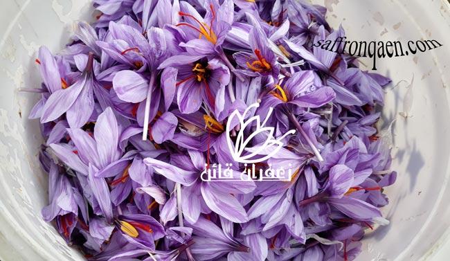خرید گل زعفران