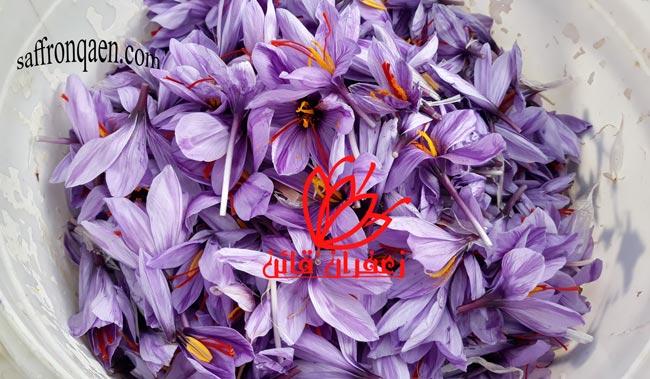 قیمت گل زعفران امسال